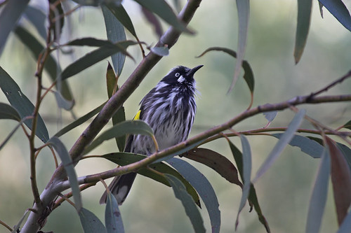 New Holland Honeyeater | by aaardvaark