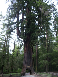 full view of the famous chandelier tree | by hillary h