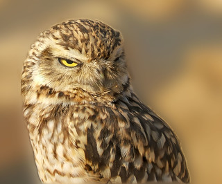 Burrowing Owl | by Squeezyboy
