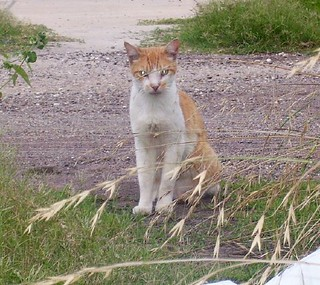 Orange & white cat in alley - argonne_marshallfoch at mouton | by yepitsme770