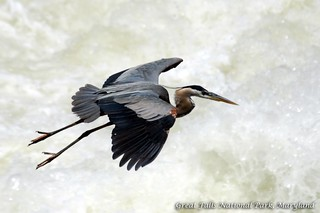 Great Blue Heron @ Great Falls National Park, Maryland | by Nikographer [Jon]