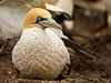 Cape Gannet (Morus capensis) by Gerhard Theron