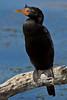 Crowned Cormorant (Phalacrocorax coronatus) by Gerhard Theron