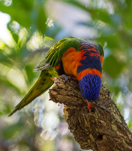 Red-collared Lorikeet (Trichoglossus haemotodius rubritorquis).02 | by Geoff Whalan