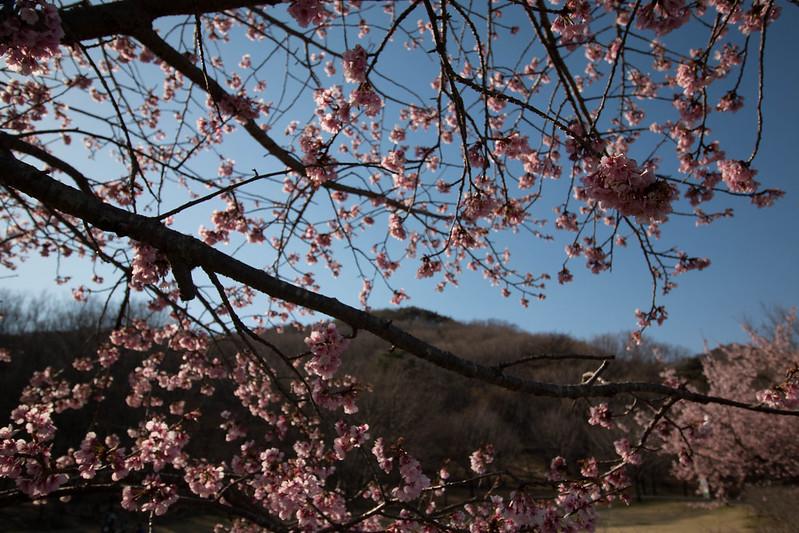 三毳山 河津桜