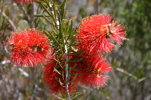DSC_6292 Callistemon rugulosus (scarlet bottlebrush), South Coast Road east of Vivonne Bay, Kangaroo Island, South Australia | by JohnJennings995