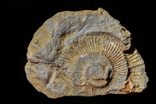 Ammonite fossilisée 1