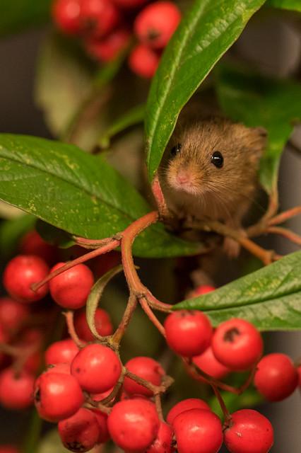 harvest mouse (2)