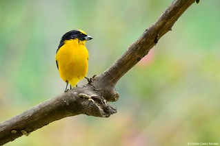 Euphonia laniirostris (Thick-billed Euphonia) | by cristian_castro_morales