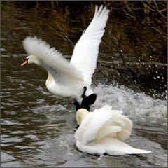 51/52 Panic amongst the swans