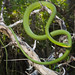 Rough Greensnake - Photo (c) FWC Fish and Wildlife Research Institute, some rights reserved (CC BY-NC-ND)