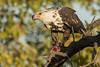 Águila Pescadora Africana inm by ik_kil