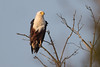 Águila Pescadora Africana ad by ik_kil