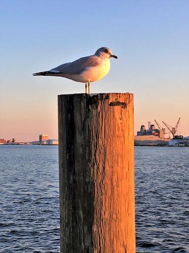 baltimore maryland fellspoint birds gulls harbors iphone topf25