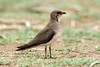 Glareola pratincola (Collared Pratincole) - South Africa, breeding plumage by Nick Dean1