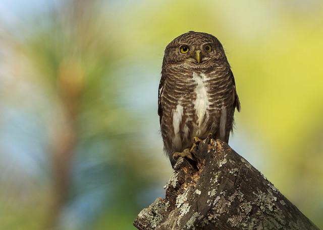 Asian Barred OwletRanikhet