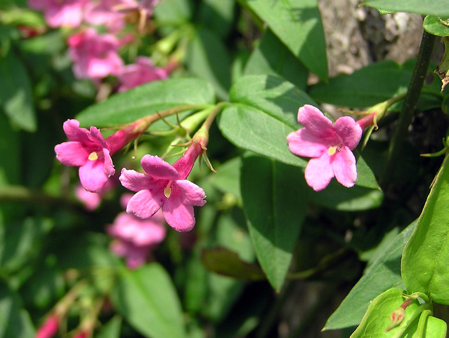 Jasminum beesianum Forrest & Diels 1912 (OLEACEAE).