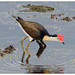 Comb-crested Jacana - Photo (c) Geoff Whalan, some rights reserved (CC BY-NC-ND)