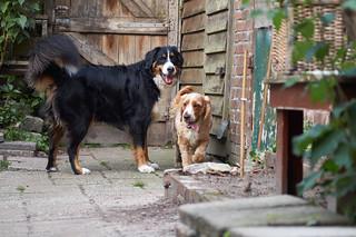 Bernese Mountain Dog & English Cocker Spaniel   by Htbaa