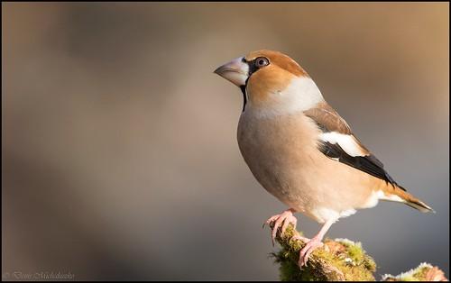 Grosbec casse-noyaux / Hawfinch   by denismichaluszko