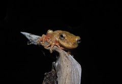 Dendropsophus bogerti