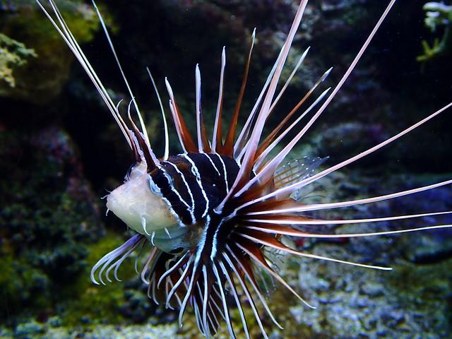 Pterois radiata - Rascasse à nageoires blanches ou Poisson-scorpion à raies blanches ou Rascasse volante rayonnée ou Laffe porc-epic - Radial firefish or Clearfin lionfish - 22/02/18