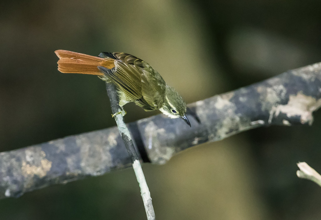 Rufous-rumped Foliage-gleaner