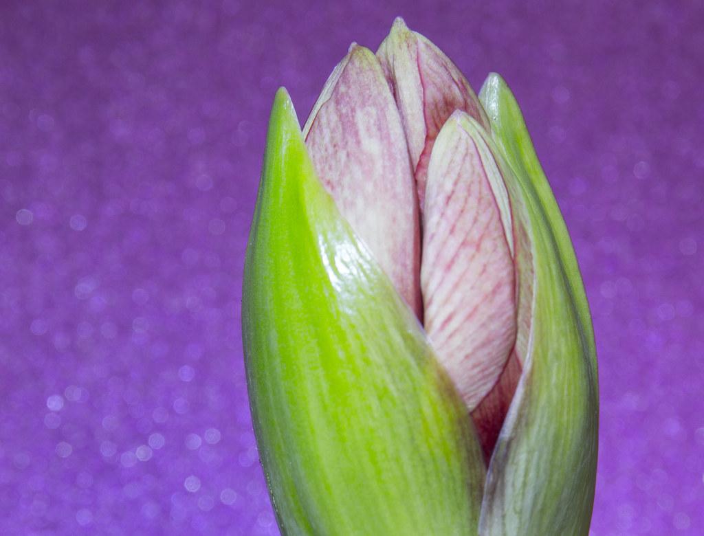 Amaryllis bud racing to flower! | Amaryllis February 2018  | Flickr
