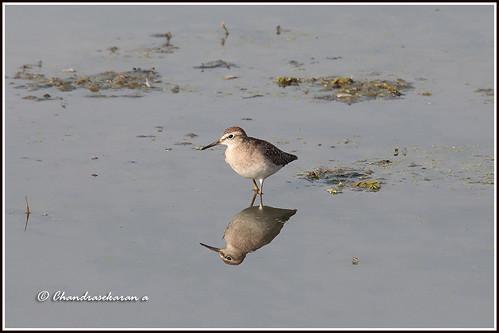 sandpiper birds sholinganallur marsh chennai india nature canoneos6dmarkii tamronsp150600mmg2