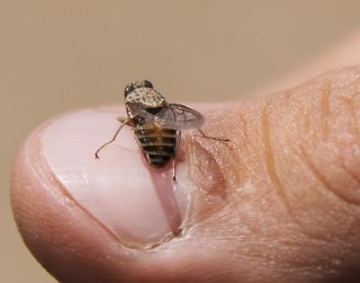 Tsetse Fly Glossina sp_5331