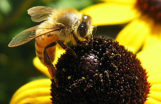 Honey Bee on Rudbeckia | by Puzzler4879