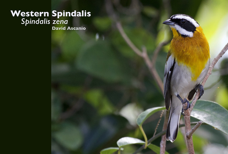 Western Spindalis, Spindalis zena_199A3009