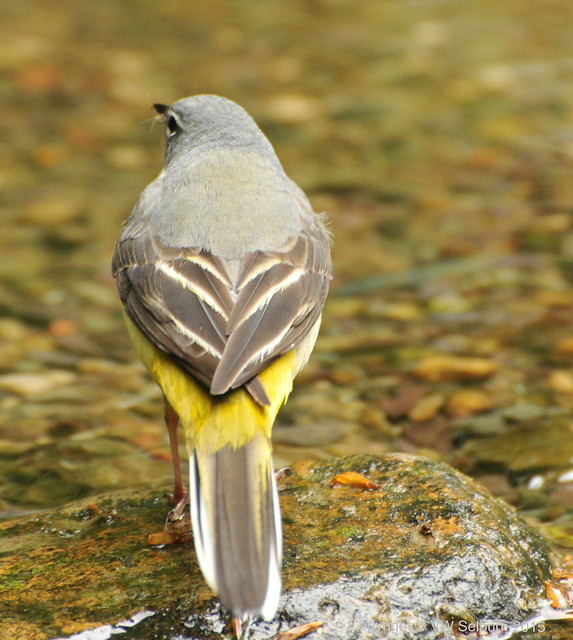 Grey Wagtails have a grey back EXPLORED