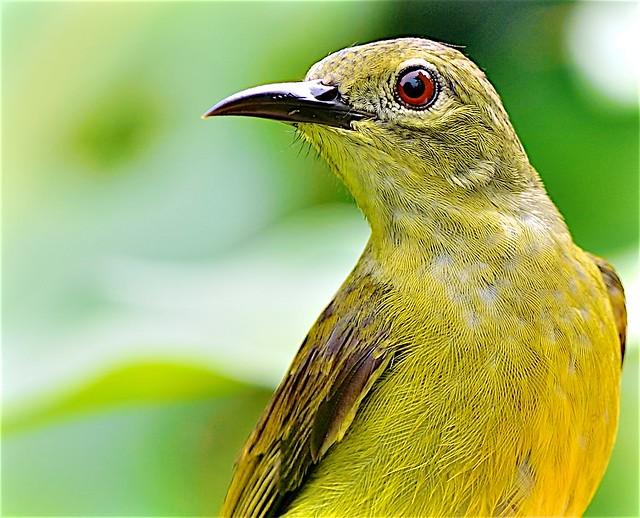 Olive Sunbird: Female