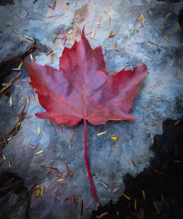 maple leaf III | by ronphoto2009