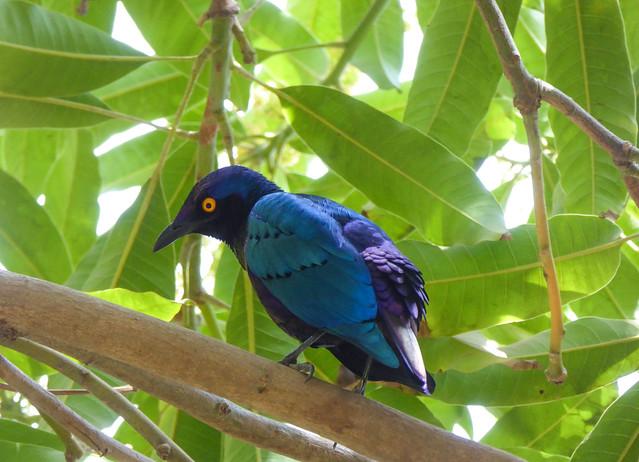 Purple glossy starling (Lamprotornis purpureus), Kololi, The Gambia