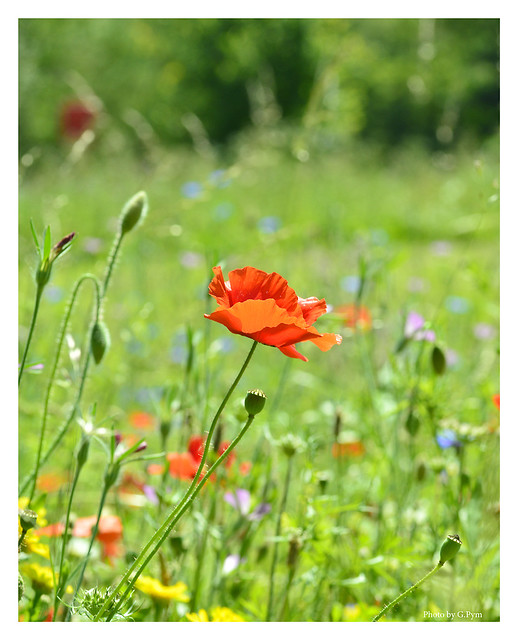 Poppy at the meadow