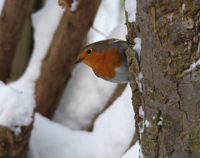 robin in the snow (2)