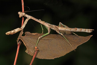 Praying Mantis, Merrimac Farm Wildlife Management Area, Aden, Virginia