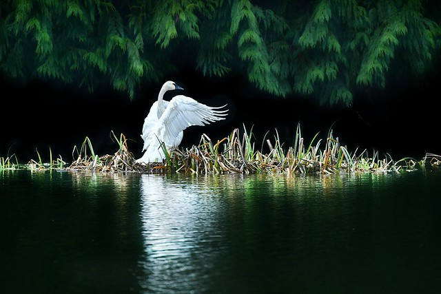 trumpeter swan (Cygnus buccinator) . . .