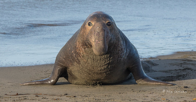 Head-on Elephant Seal (Explored)