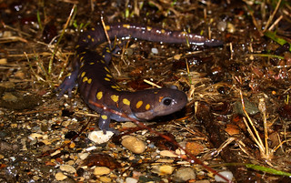 Spotted salamander (Ambystoma maculatum) | by phl_with_a_camera1