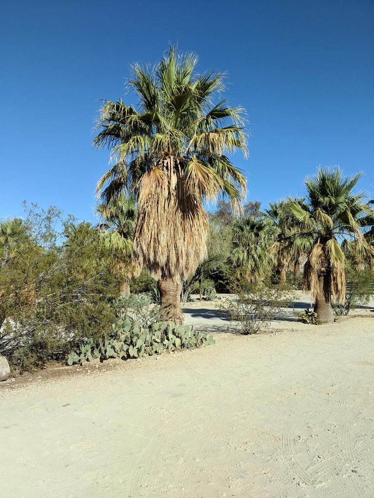 Desert Fan Palm Twentynine Palms Inn Twentynine Palms CA 2