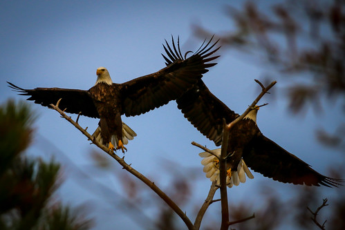 nature outdoor animal wildlife bird eagle rehoboth beach bay delaware de