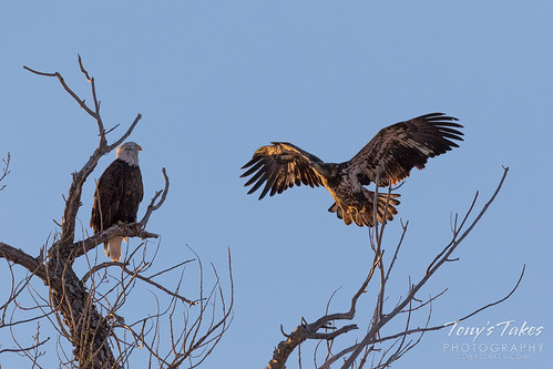 Juvenile Bald Eagle landing sequence - 1 of 18 | I went to ...