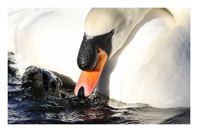 2018 02 17_Mute Swan-1