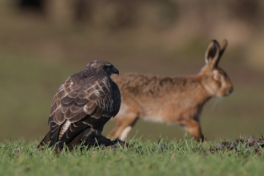 The Buzzard and the Hare 9P1A2992a