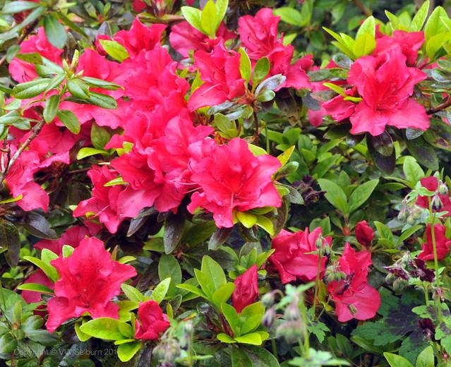 Red azalea blossom