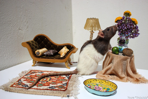 Haustierratte: This is what I picture a house pet rat to look like: All prim and proper, tending to her home.