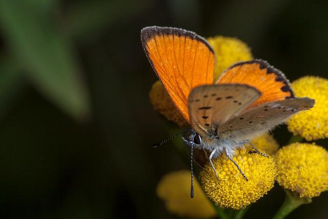 Most Orange Butterfly - TNY_1962